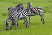 Three zebras on a green grass — Stock Photo