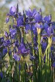 Flores de iris — Foto de Stock