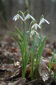 Snowdrop spring — Stock Photo