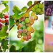 Grapes on vine sunny day — Stock Photo #7104352