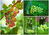 Beautiful Grapes Collage — Stock Photo