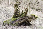 Old plant root — Stock Photo