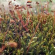 Moss sporangiums closeup — Stock Photo