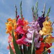 Stock Photo: Bunch of gladioli flowers