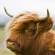 Young brown highland cattle — Stock Photo