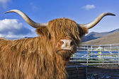 Brown highland cattle with blue sky in background — Stock Photo