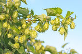 Branch of hops. — Stock Photo