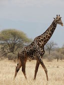 Giraffe in Tanzania — Stock Photo