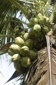 Coconut_4 — Stock Photo