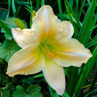 Daylilly - Stock Photo