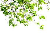 Fresh Green leaves on white background — Stock Photo