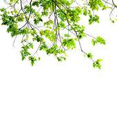 свежих зеленых листьев на белом фоне — Стоковое фото