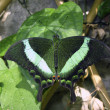 Emerald swallowtail - Stock Photo