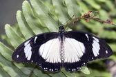 Papilio memnon — Stock Photo