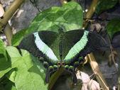 Emerald swallowtail — Stock Photo