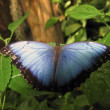 Peleides Blue Morpho — Stock Photo
