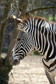 Zebra, paticular — Stock Photo