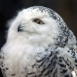 Stock Photo: Snowy Owl Particular