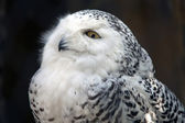 Snowy Owl Particular — Stock Photo