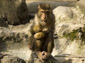 Macaque nemestrino — Stock Photo