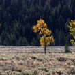 Two Aspen trees — Stock Photo
