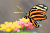 Butterfly on colorful flowers — Stock Photo