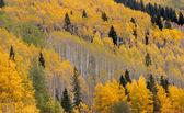 Yellow aspen trees — Stock Photo