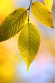 Hojas de otoño — Foto de Stock