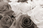 Rose flowers in sepia color — Stock Photo