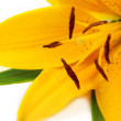 Yellow tiger lily - Stock Photo