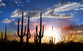 Saguaro sunset — Stock Photo
