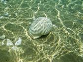 En skal på havsbotten — Stockfoto