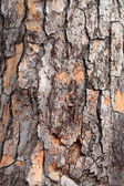 Pine tree bark — Stock Photo