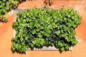 Green ivy growing — Stock Photo