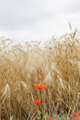 Red poppies in a wheat field — Stock Photo