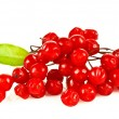 Viburnum berries, mountain ash, currant — Stock Photo