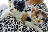 Two beautiful little kitten — Stock Photo