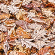 Stock Photo: Frosted leaves