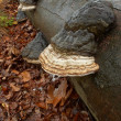 Stock Photo: Mushrooms on trunk