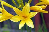 Lemon Lily — Stock Photo