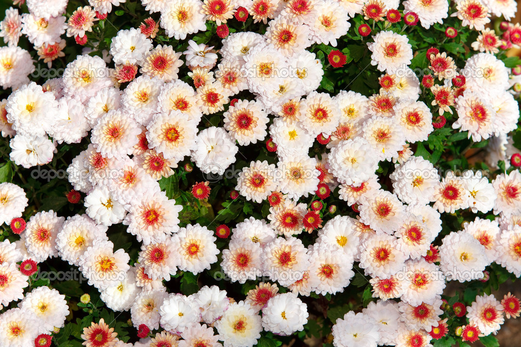 Chrysanthemums — Stock Photo #6764346