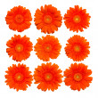 Orange gerberas blossom - Stock Photo