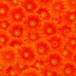 Orange gerberas - Stock Photo