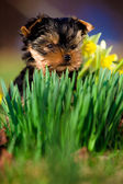 Little dog - Yorkshire Terrier — Stock Photo