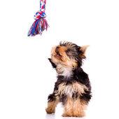 Little dog (Yorkshire Terrier) — Stock Photo