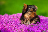 Lttle dog — Stock Photo