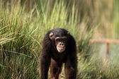 Chimpanzé — Photo