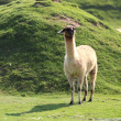 Llama — Stock Photo #7090990