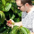 Farmer examining a mature of coffee beans - Stock Photo