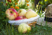 Basket of apples in the field — Stock Photo